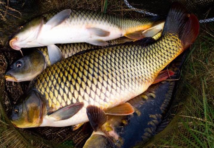 рыбалка на сазана осенью